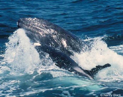 Photos d'orque et leurs proies KillerWhaleAttackingGrayWhaleNB