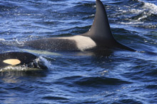 Killer Whale with Calf in Monterey Bay