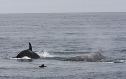 Killer Whale with Gray Whale calf