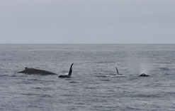 Killer whales attacking Gray Whale calf, Humpback present