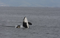 Killer whale spy hopping with Killer whale calf