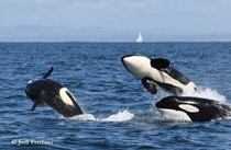 Killer Whales, photo by Jodi Frediani