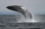 Humpback Whale breaching, photo by Jim Scarff