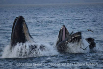 Lunge-feeding Humpback Whales, photo by Melissa Galieti
