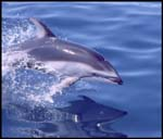 Pacific White-sided Dolphin photo by Peggy Stap