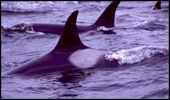 Resident Killer Whales, photo by Nancy Black