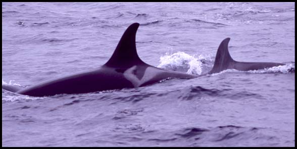 Killer Whales, Slide No. B05-27