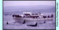 Orcas Entertaining Whale Watchers (16K)