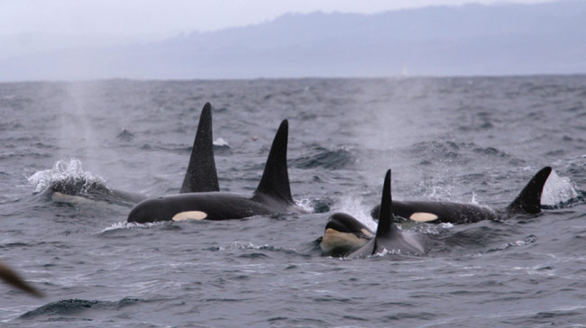 Southern Resident Killer Whales in Monterey Bay