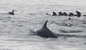 Bottlenose Dolphin and Sea Lions, photo by Daniel Bianchetta