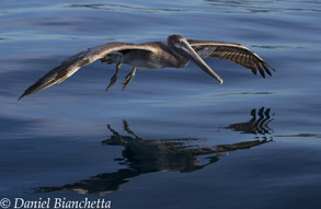 California Brown Pelican, photo by Daniel Bianchetta