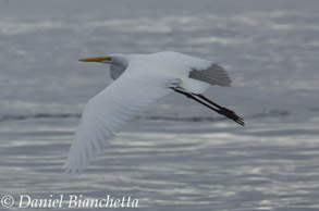 Great Egret, photo by Daniel Bianchetta