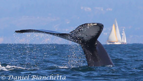 Humpback Whale tail with sailboats, photo by Daniel Bianchetta