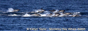 "Long-beaked Common Dolphins ""running"", photo by Katlyn Taylor"