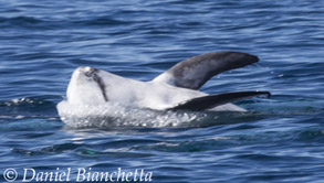 Risso's Dolphin on its back with pectoral flippers in the air, photo by Daniel Bianchetta