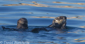 Southern Sea Otters, photo by Daniel Bianchetta