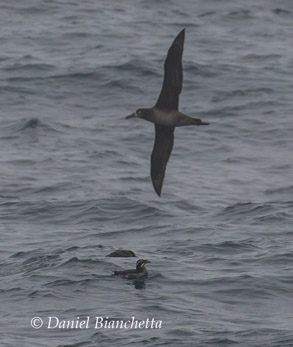 Black-footed Albatross and Rhinoceros Auklet, photo by Daniel Bianchetta