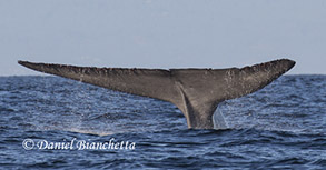 Blue Whale Tail, photo by Daniel Bianchetta