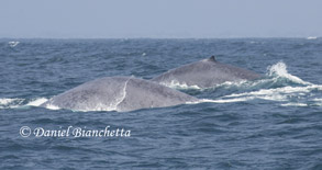 Blue Whales, photo by Daniel Bianchetta