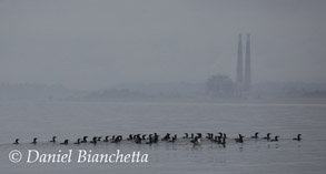 Brandt's Cormorants, photo by Daniel Bianchetta