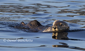 California Sea Otter, photo by Daniel Bianchetta