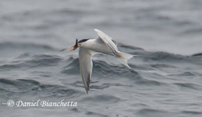 Elegant Tern, photo by Daniel Bianchetta