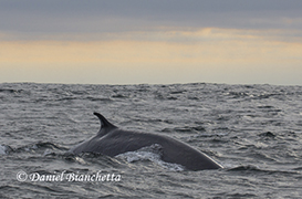 Fin Whale, photo by Daniel Bianchetta