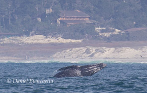 Gray Whale close to shore, photo by Daniel Bianchetta