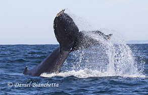Humpback Whale tail throw, photo by Daniel Bianchetta