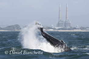 Humpback Whale tail throwing, photo by Daniel Bianchetta