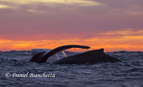 Humpback Whales at sunset, photo by Daniel Bianchetta