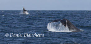Humpback Whales,  photo by Daniel Bianchetta