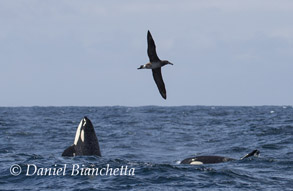 Killer Whales and Black-footed Albatross, photo by Daniel Bianchetta