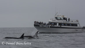 Killer Whales and Sea Wolf II, photo by Daniel Bianchetta