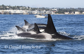 Killer Whales by the Aquarium, photo by Daniel Bianchetta