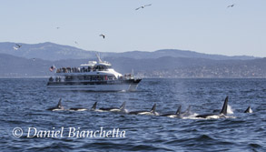 Killer Whales with Blackfin, photo by Daniel Bianchetta