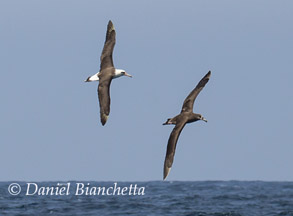 Laysan Albatross and Black-footed Albatross,  photo by Daniel Bianchetta