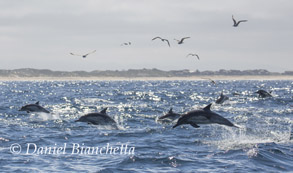 Long-beaked Common Dolphins, photo by Daniel Bianchetta