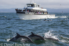 Long-beaked Common Dolphins with Sea Wolf II, photo by Daniel Bianchetta