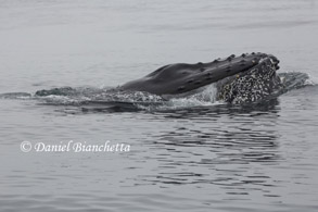 Lunge feeding Humpback Whale, photo by Daniel Bianchetta