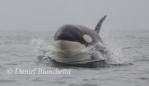 Male Killer Whale, photo by Daniel Bianchetta