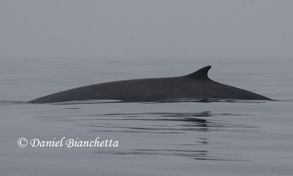 Minke Whale, photo by Daniel Bianchetta