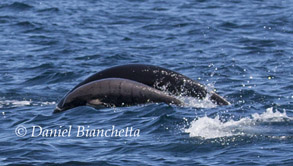 Mother and calf Northern Right Whale Dolphins, photo by Daniel Bianchetta