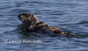 Mother and pup Southern Sea Otter, photo by Daniel Bianchetta