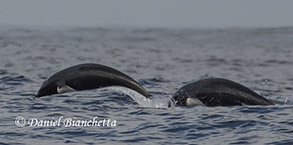Northern Right Whale Dolphins, photo by Daniel Bianchetta