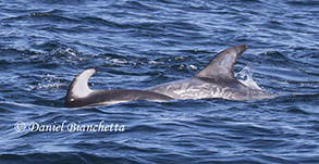 Pacific White-sided Dolphin and Risso's Dolphin, photo by Daniel Bianchetta