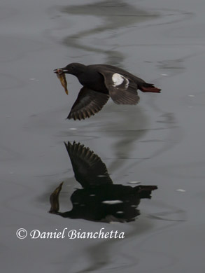 Pigeon Guillemot eating Rockfish, photo by Daniel Bianchetta