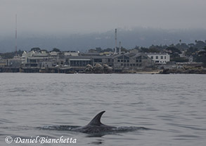 Risso's Dolphin with Monterey Bay Aquarium, photo by Daniel Bianchetta