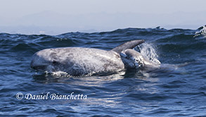 Risso's Dolphin mother and calf, photo by Daniel Bianchetta