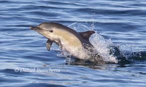 Short-beaked Common Dolphin, photo by Daniel Bianchetta